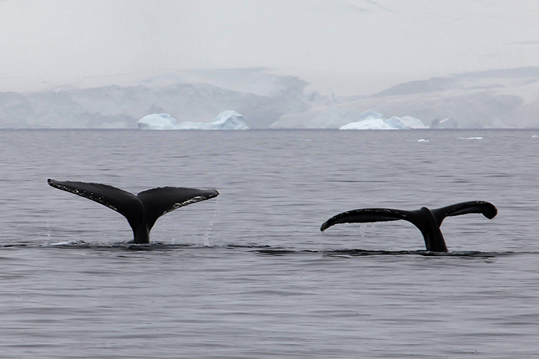 Yubartas o ballenas jorobadas